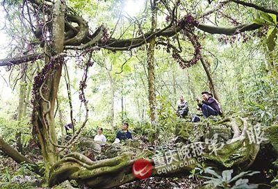 """重庆现疑似500岁""""藤王"""":延展近4亩 林间成巨网"""