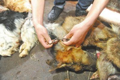 洛阳一屠狗黑窝点被查 宠物狗被杀死煮肉