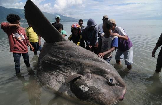 印尼渔民发现巨型翻车鱼 长2米重1.5吨(组图)