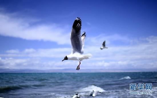 青海湖――鸟的天堂