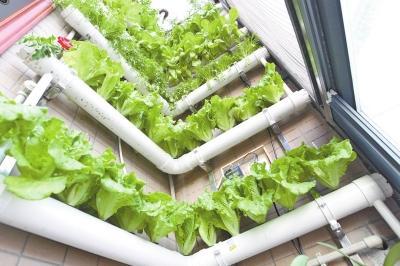 郑州一六旬药剂师打造阳台花园 箱养仙草墙上种蔬菜