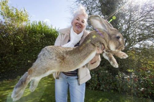 巨型兔子。