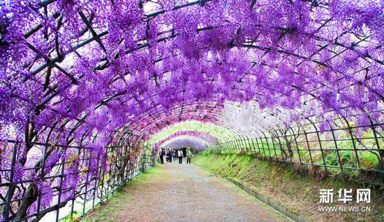 如梦似幻!实拍日本绝美紫藤隧道(图)