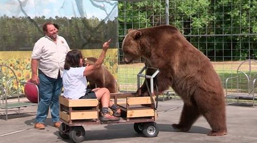 养大熊当宠物。
