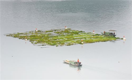 南岸区峡口镇人工鱼巢孵苗近亿尾