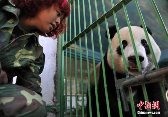 """美国""""海归""""大熊猫""""云子""""入驻石家庄动物园"""