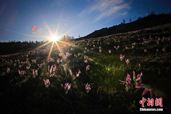 新疆喀纳斯迎来一年一度最美山花季