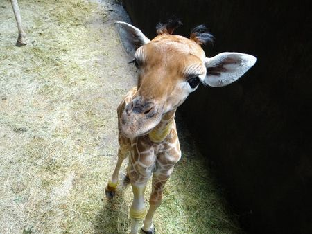 4个胃难救援台湾长颈鹿宝宝因拒绝吃饭离世(图)