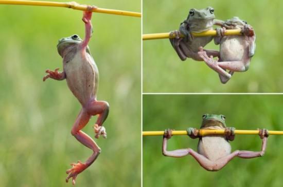 萌翻!印尼树蛙玩
