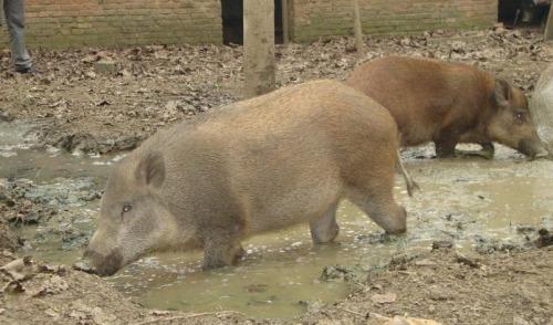 资料图片:线路上突然又出现了8头野猪,为同伴报仇。