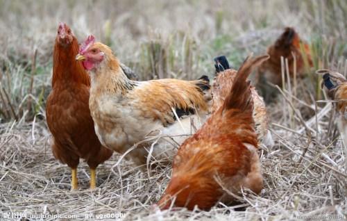 资料图片:4只鸡联合起来,啄死了一只狐狸。