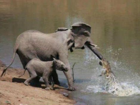 大象被鳄鱼咬住鼻子 动物发飙攻击瞬间(组图)