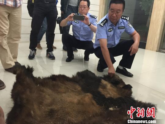图为森林公安民警展示查获的大熊猫皮 马骞 摄