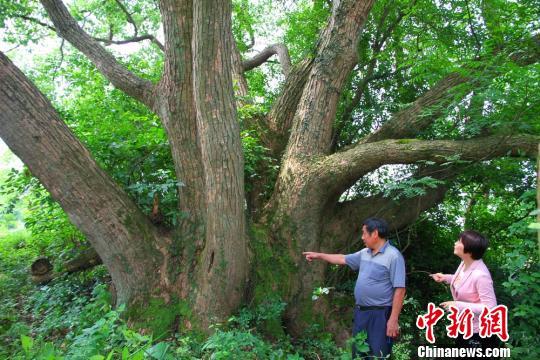 """湖南永州再现""""樟树王""""树龄逾700年(图)"""
