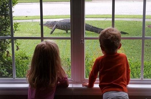 鳄鱼闯进自家草坪2名儿童看得目不转睛(图)