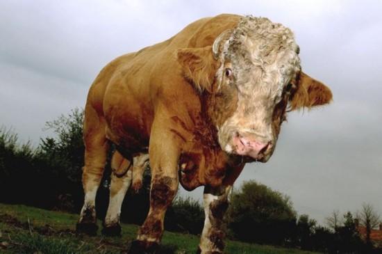 帅哥裸体露阴茎_爱尔兰发情公牛交配过猛致阴茎折断