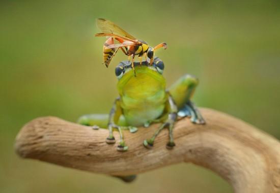 印尼大黄蜂与树蛙亲密共处长达5分钟