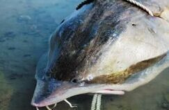 黑龙江渔民捞出800多斤鲟鳇鱼 鱼子酱可卖30万