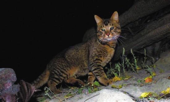 摄于欧娘村的小型猫科动物,或为野生亚洲野猫新亚种.图由tbis提供