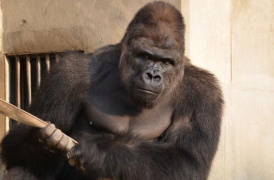 日本史上最帅猩猩走红 表情冷酷霸道总裁范儿