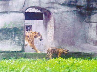 两只华南虎宝宝110天了 请你为它们取个名