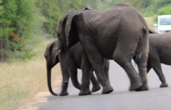 象群为救倒地小象冲上道路阻断交通