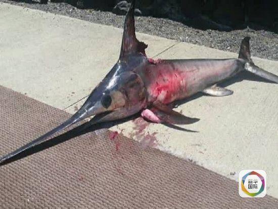 渔夫跳入海中捕捞剑鱼 被其用上颌刺胸而死(图)