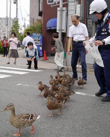 日本小野鸭搬家受警察护送队列整齐超可爱(图)