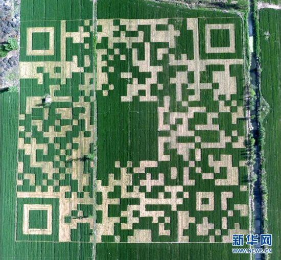 这是航拍的麦田中的巨型二维码(5月4日摄)。