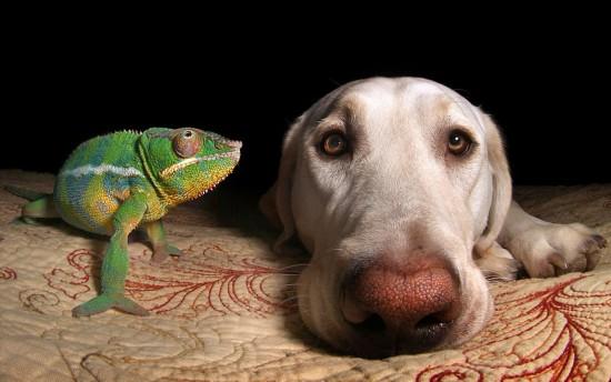 跨物种友谊:宠物狗与变色龙同吃同住其乐融融(组图)
