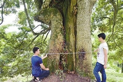 树干直径达到2.1米