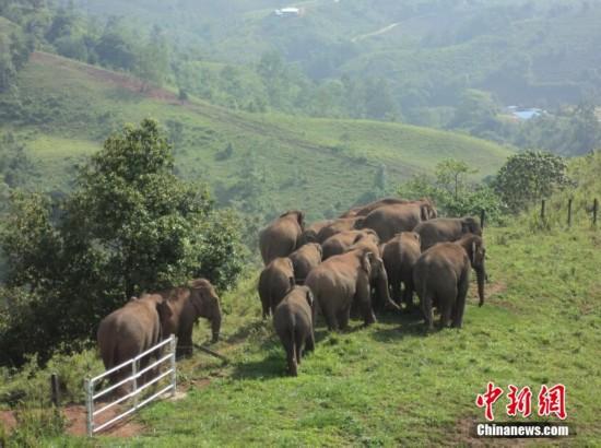 19头亚洲野象结伴逛云南普洱咖啡园