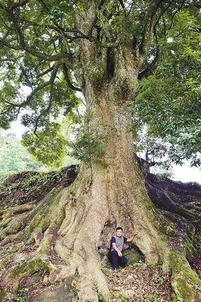最大那棵金丝楠木与一个成人的对比