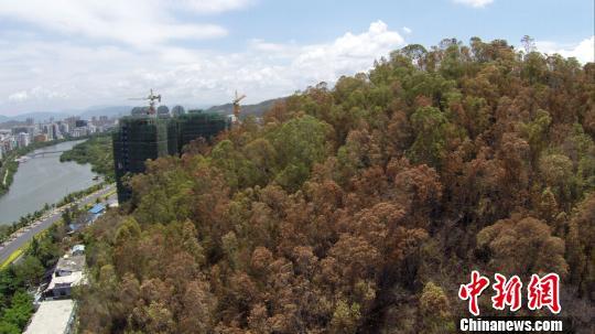 三亚持续干旱树木枯黄 森林防火形势很严峻