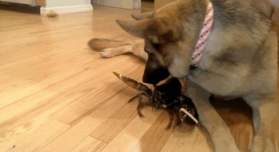 离我小伙伴远点!狗狗爱心泛滥保护龙虾免遭煮