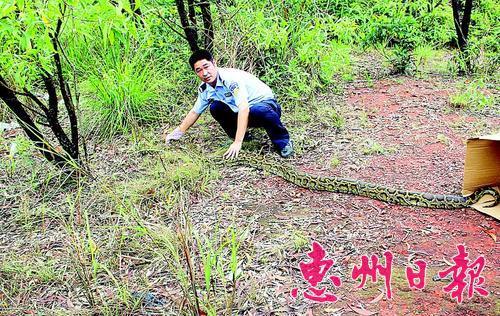 民警在放生蟒蛇。 本报记者谭宇川 通讯员张丽玲 摄