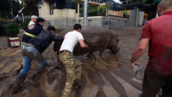 格鲁吉亚洪水冲毁动物园老虎狮子河马流窜街头(图)
