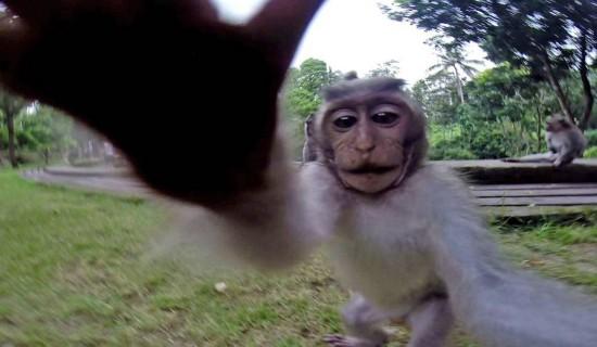 """长尾猕猴抢走相机""""自拍"""""""
