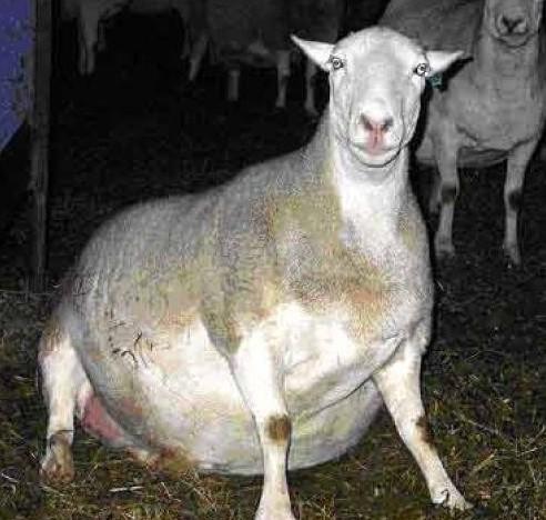 盘点全球肥胖动物:最胖腊肠四肢无法承受体重