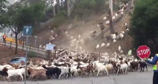 美大学为免失火邀800只羊儿吃草