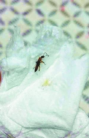 开封市民家中现隐翅虫 体含强腐蚀性酸性液体