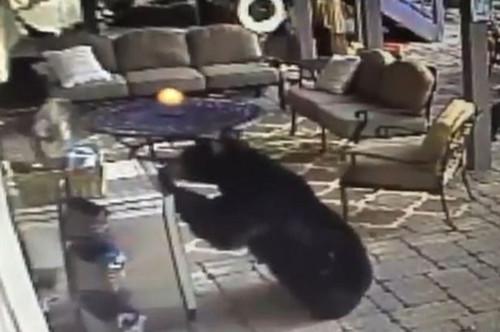 黑熊妈妈携幼崽入室盗窃冰镇饮料惊呆房主(图)