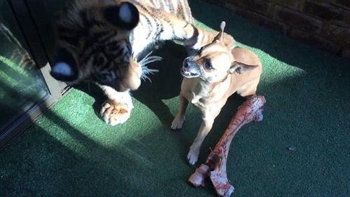 狗狗发起攻击。