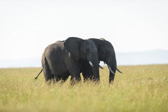"""摄影师肯尼亚拍""""恩爱""""大象 场面温馨动人【8】"""