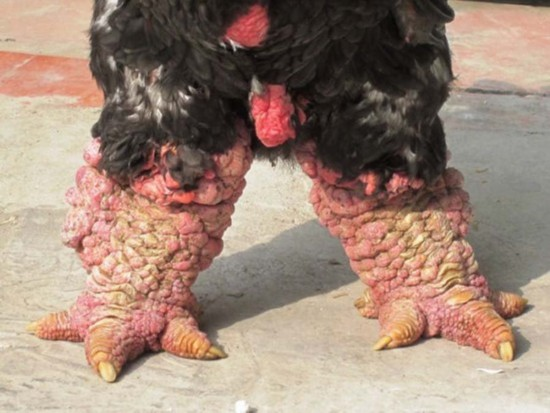 越南东涛鸡腿粗堪比手腕 一斤鸡肉卖60元