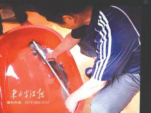 盐城市民捕获一条野生娃娃鱼 长70多厘米
