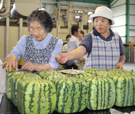 日本方形西瓜开始发售 每个约500元人民币