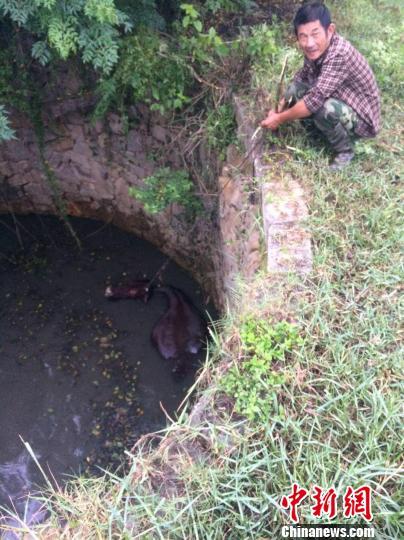 大水牛掉进13米深坑民警消防灌40吨水急施救