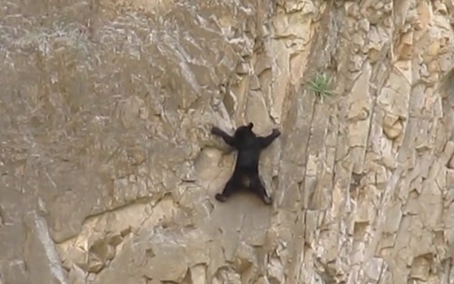 小熊受困悬崖峭壁上终凭一己之力脱离困境(图)