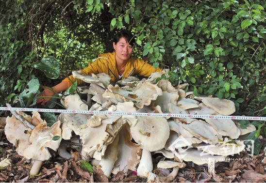 云南普洱发现重300斤菌子 专家:是巨大口蘑